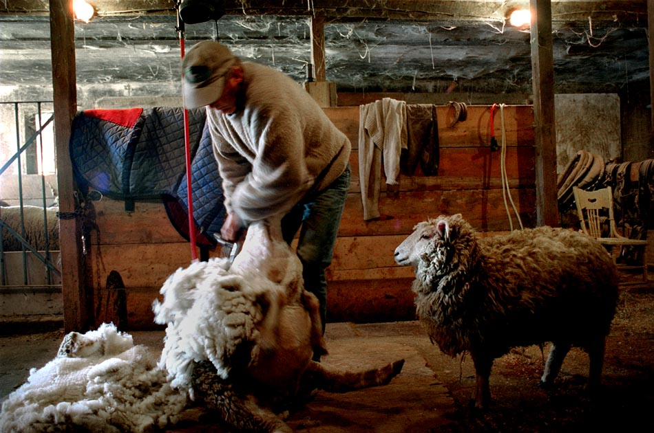 sheep-shearing-fat-rooster-farm-royalton-vt-harvest