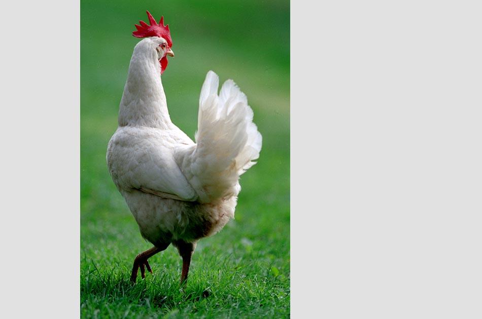 powers-farm-royalton-vt-living-with-chickens