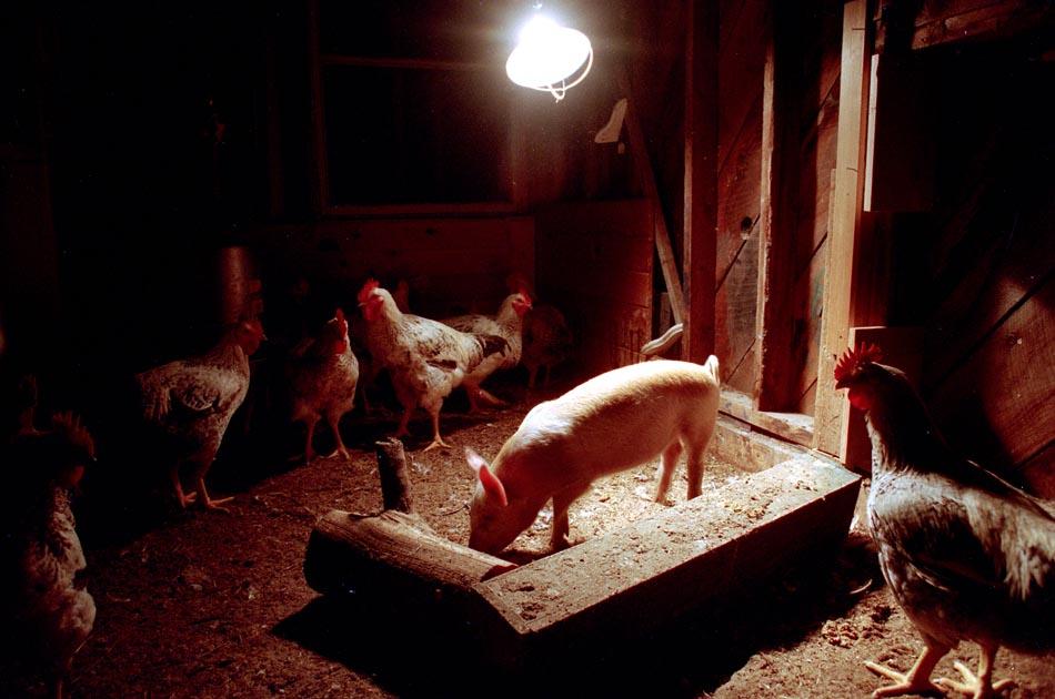thomashow-farm-strafford-vt-living-with-chickens