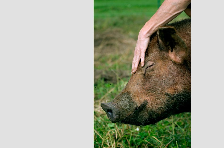 hogwash-farm-norwich-vt-living-with-pigs