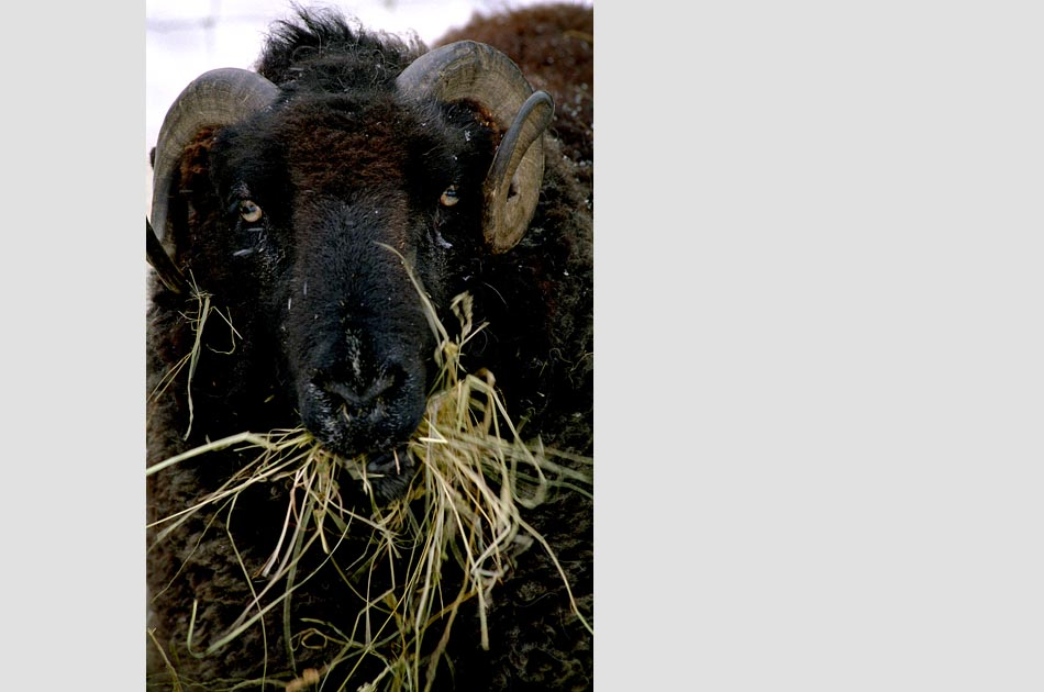 lenihan-farm-strafford-vt-living-with-sheep